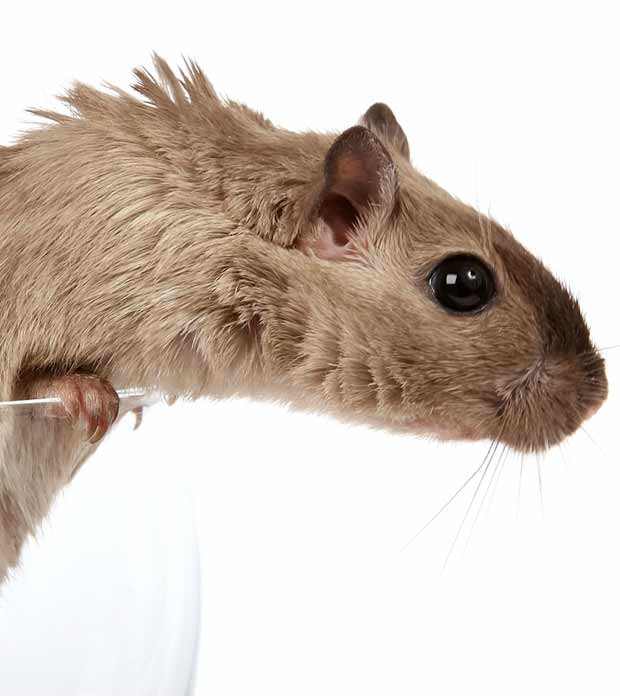 rodent contaminating drinking glass